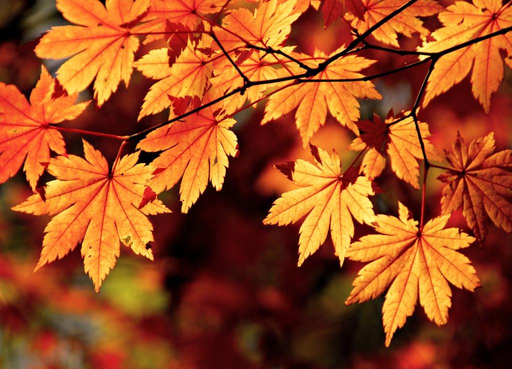 autumn-maple