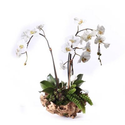 Triple White Orchid in Wood Vase