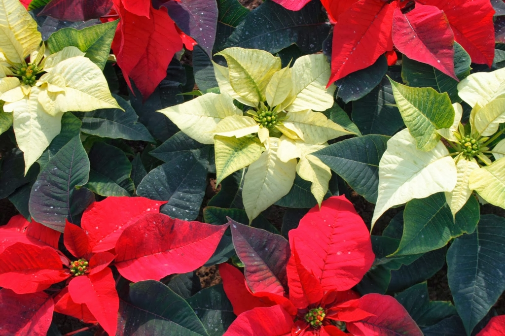 Plantscapers-white-red-poinsettias