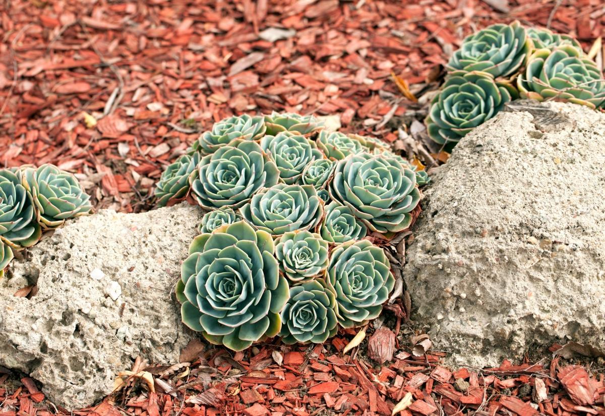 Cactus Mulch