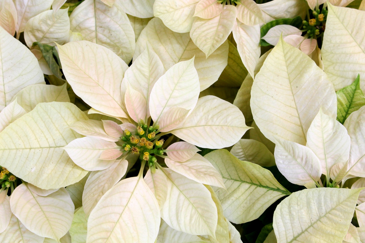 10 Poinsettia Points To Ponder Plantscapers