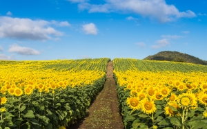 Field of sunflowers earth day shutterstock_342361277