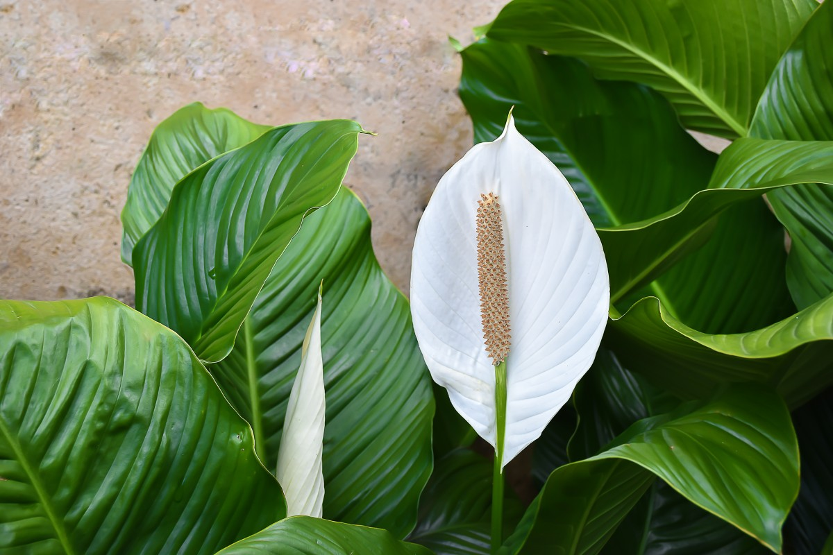 The Tranquil Peace Lily - Plantscapers on classic peace lily plant, chinese evergreen house plant, marginata house plant, dragon plant, weeping fig house plant, holly house plant, artificial bamboo house plant, peace lily family plant, black gold lily plant, problems with peace lily plant, white and green leaves house plant, peace lily potted plant, croton house plant, peace plant brown leaves, peace lily plant benefits, zamiifolia house plant, droopy peace lily plant, pineapple plant house plant, funeral peace lily plant, black bamboo potted plant,