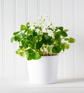 Shamrocks bloom white and pink flowers from spring to mid-summer.