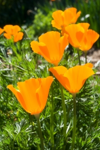 The California state flower is the poppy.