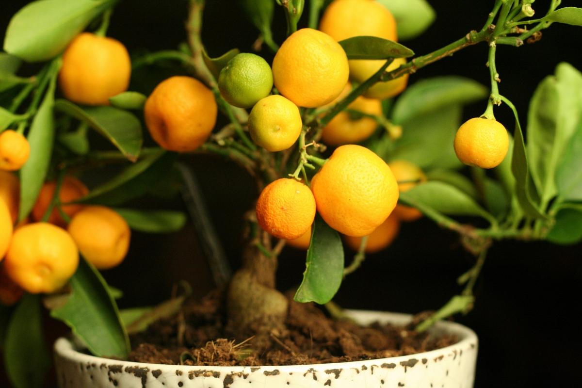 Growing Citrus Indoors Plantscapers