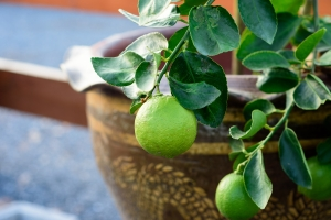 potted-citrus-lime