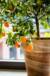 potted-citrus-orange