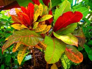 croton-colorful-plant