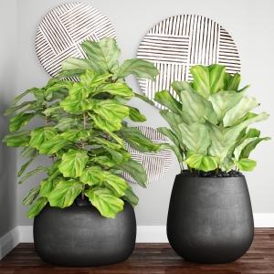 fiddle-leaf-fig-in-pots