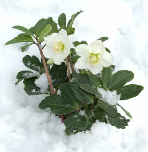 The Christmas rose only blooms during the winter months.