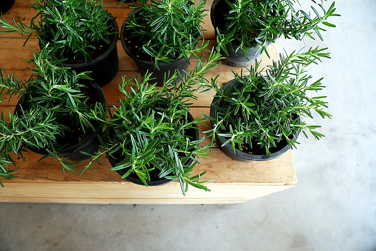 The Fragrant Rosemary Plantscapers