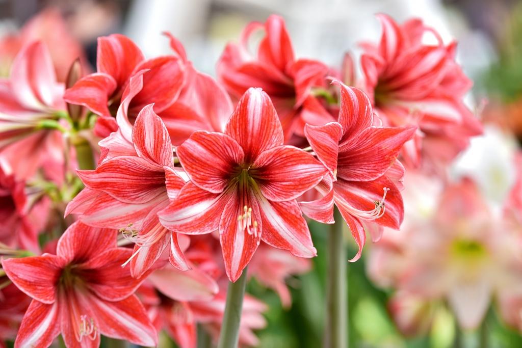 amaryllis-pink-white