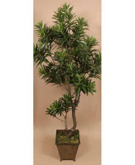 Dracena Compacta 450x550 Plantscapers
