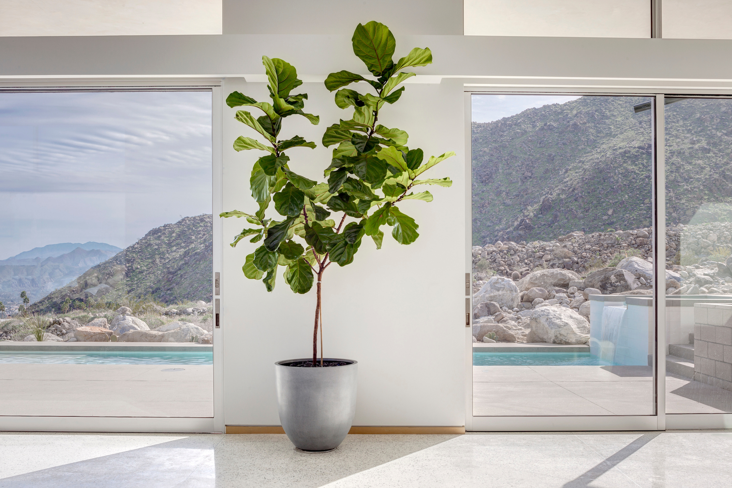 Care Tips for the Ficus Lyrata   Plantscapers