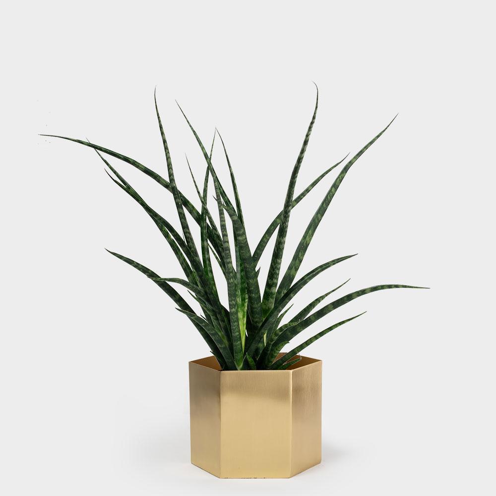 Ferm-Hexagon-Pot-XL-Brass_Sansevieria-Fernwood-6