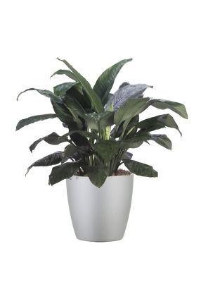 Peace Lily is a classic houseplant, perfect as a housewarming gift.