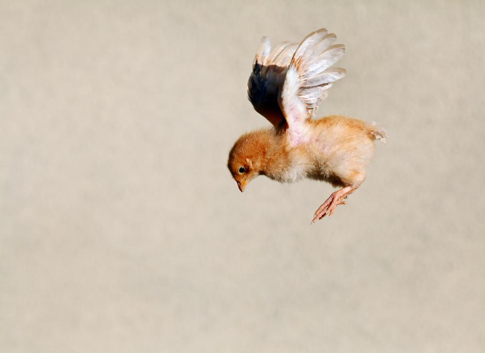 Flying,Chicken
