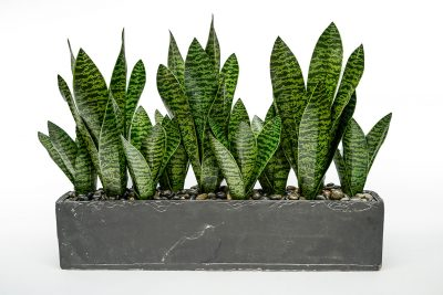 Sanseveria in Cement Rectangle