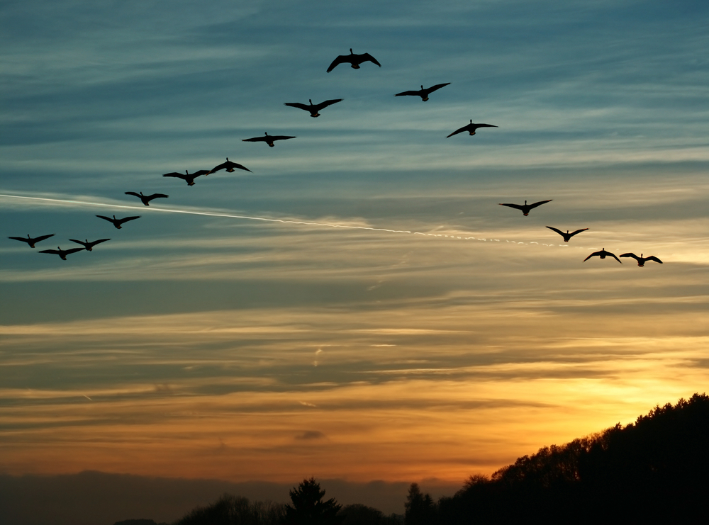 Flock,Of,Migrating,Canada,Geese,Flying,At,Sunset,In,A