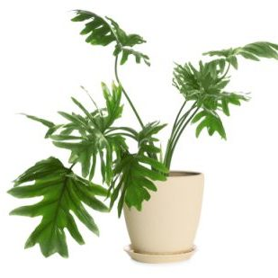 Pot,With,Philodendron,Selloum,Plant,Isolated,On,White.,Home,Decor